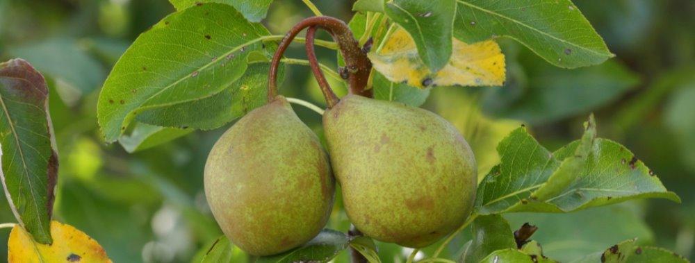 Curiosità:sai cos'è la pera picciola? A Castiglione d'Orcia per scoprire una rarità.